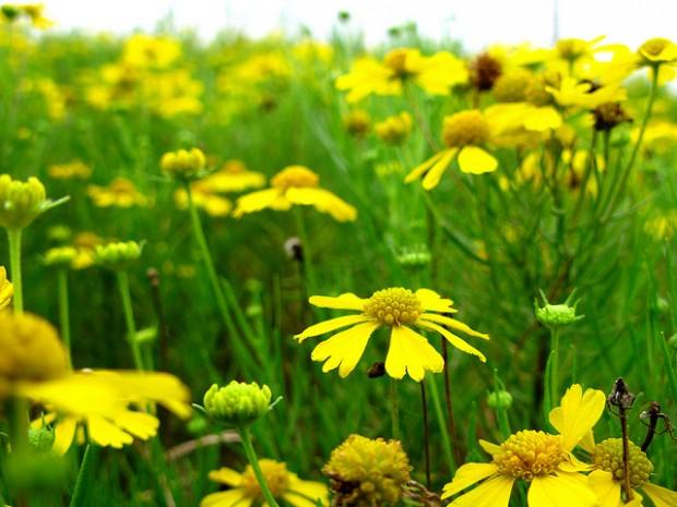 Sneeze Weed (Helenium)